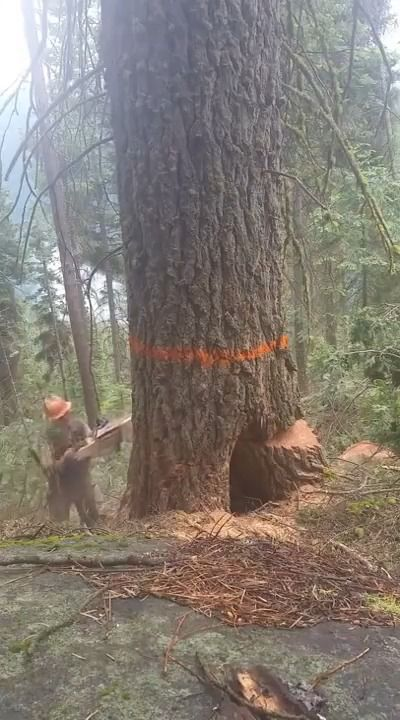 image bucheron-evite-arbre-pourri-tombe