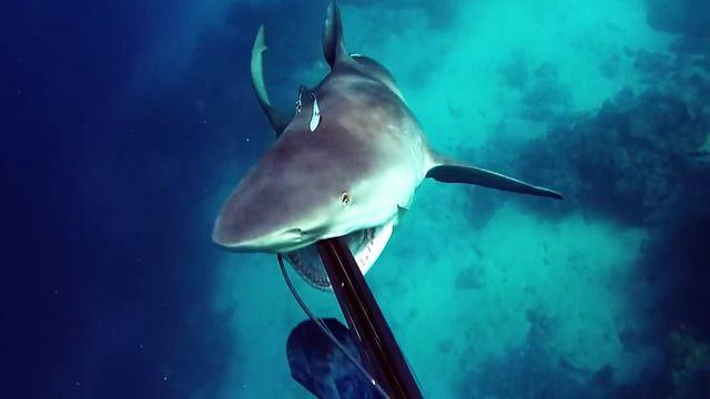 image chasseur-sous-marin-attaque-requin-taureau