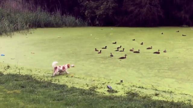 image chien-courir-canards-eau