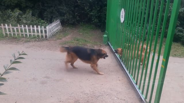 image chiens-aboyer-travers-portail