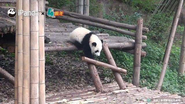 image compilation-pandas-tomber