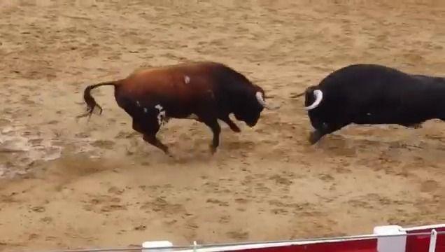 image deux-taureaux-morts-cogner