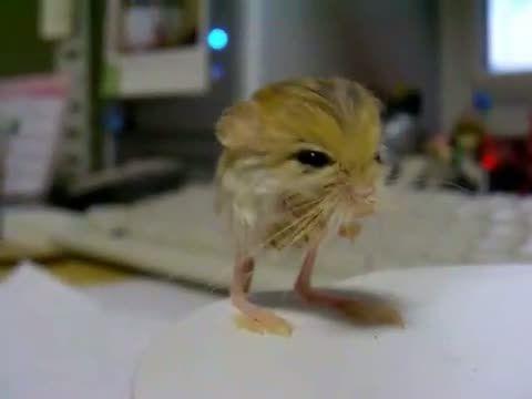 image gerboise-pygmee