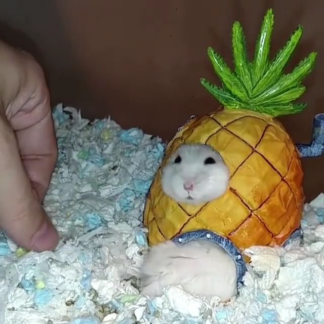 image hamster-coince-maison-ananas