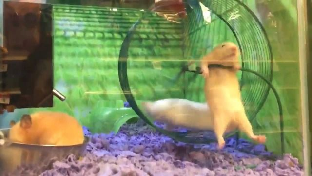 image hamster-difficulte-roue