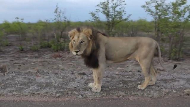 image lion-aime-pas-filme