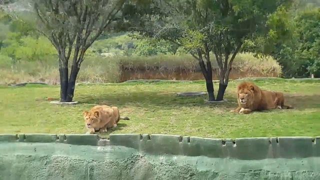 image lionne-saute-fosse-safari-mexique