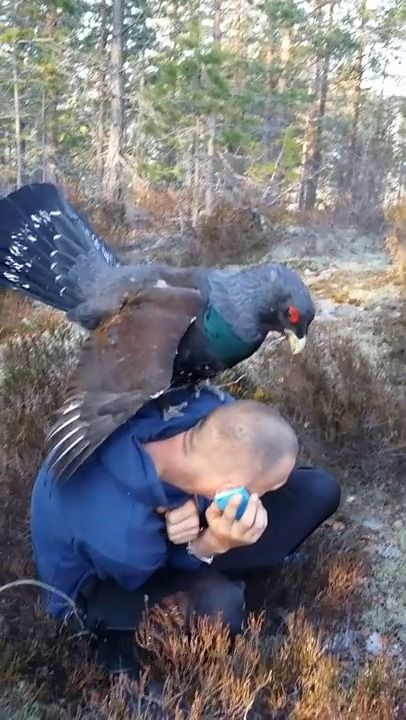 image pigeon-geant-copuler-homme