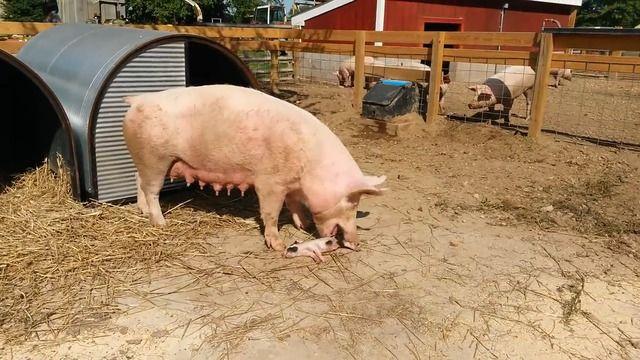 image cochon-mange-bebe-cochon