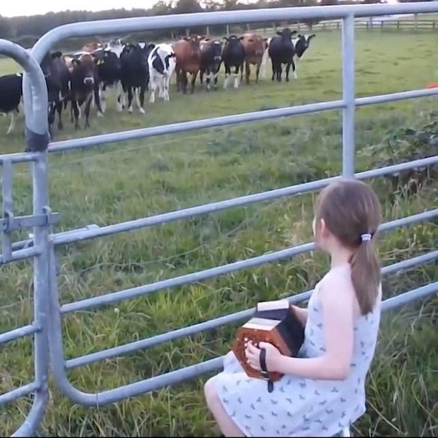 image petite-fille-vaches-accordeon