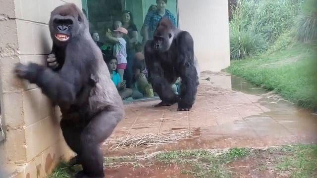image gorilles-pluie