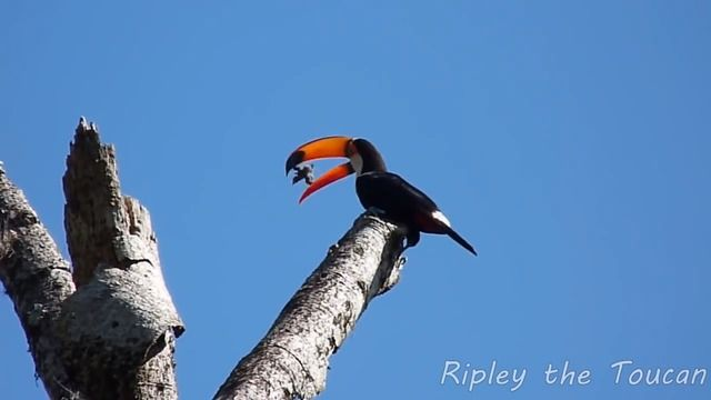 image toucan-avale-bebes-oisillons