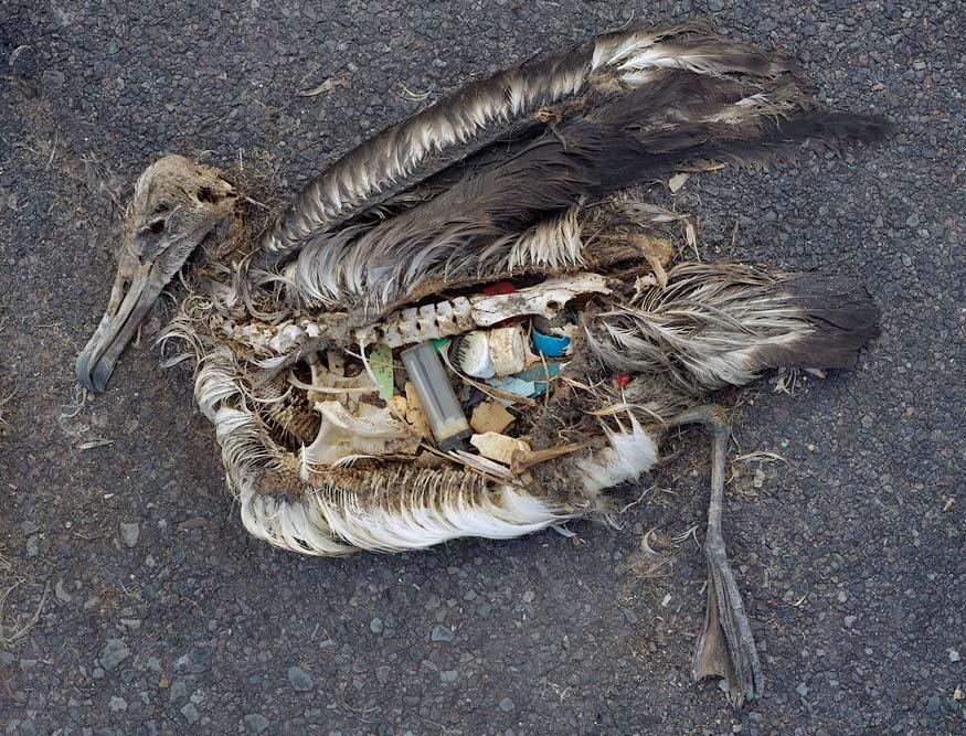 albatros-morts-11