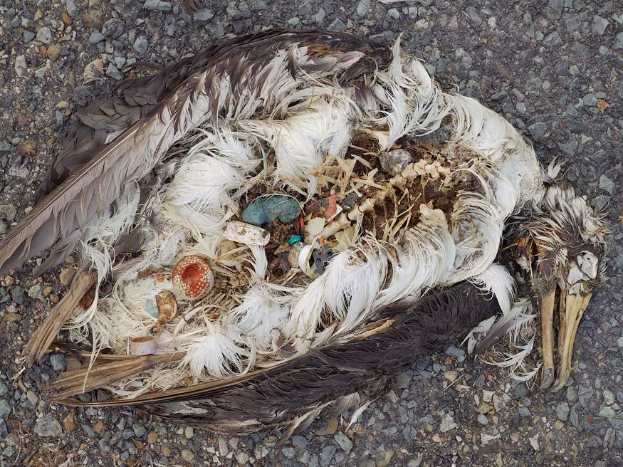 albatros-morts-21