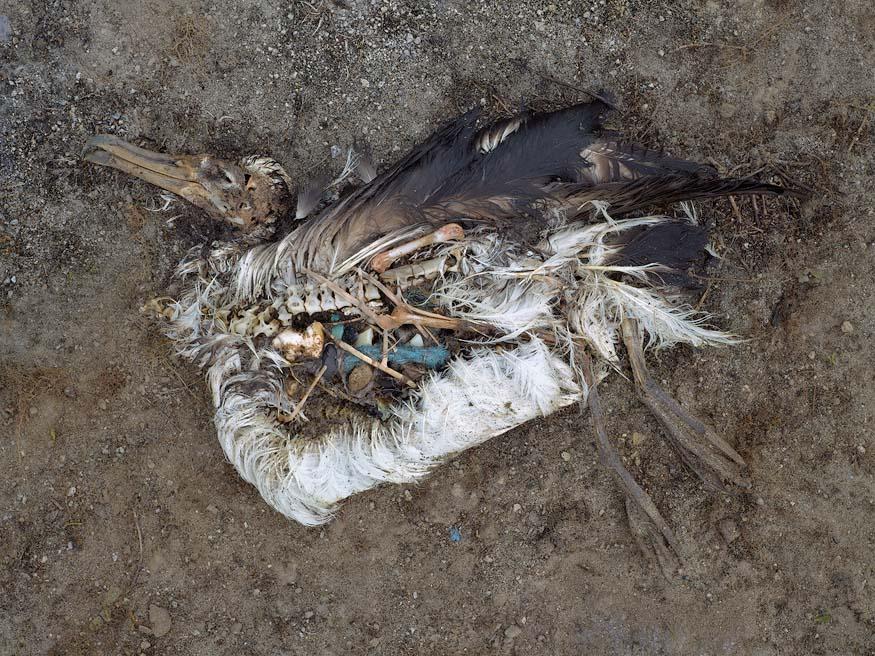 albatros-morts-29
