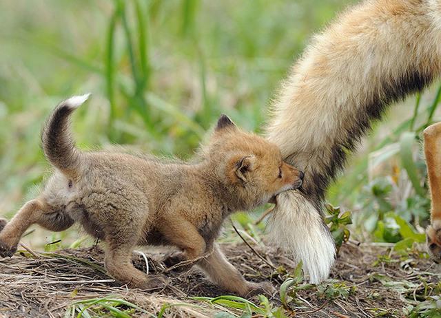 animaux-sauvages-parents-02