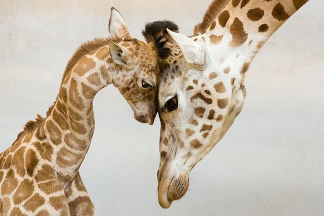 animaux-sauvages-parents-08