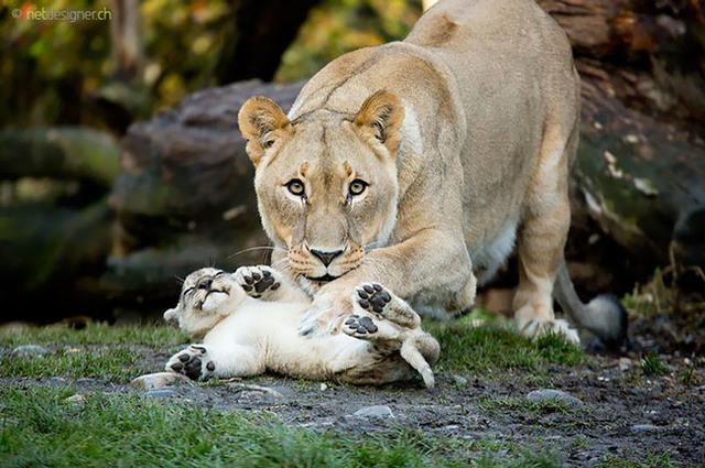 animaux-sauvages-parents-19