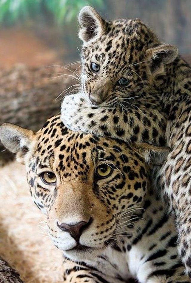animaux-sauvages-parents-23