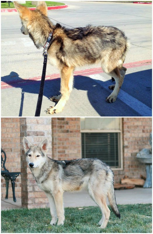 chiens-avant-apres-adoption-05