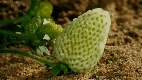 evolution-fraise
