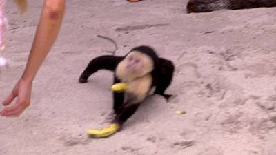 singe-vole-bananes