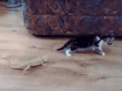 chaton-flippe-lezard
