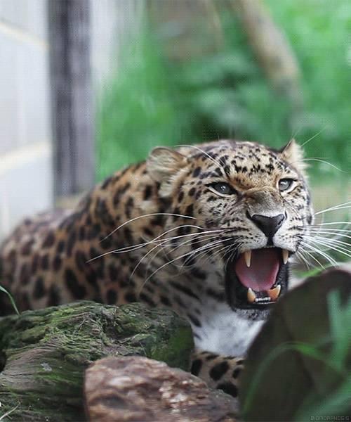 leopard-qui-montre-les-crocs