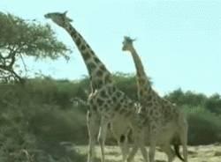 bataille-entre-girafes
