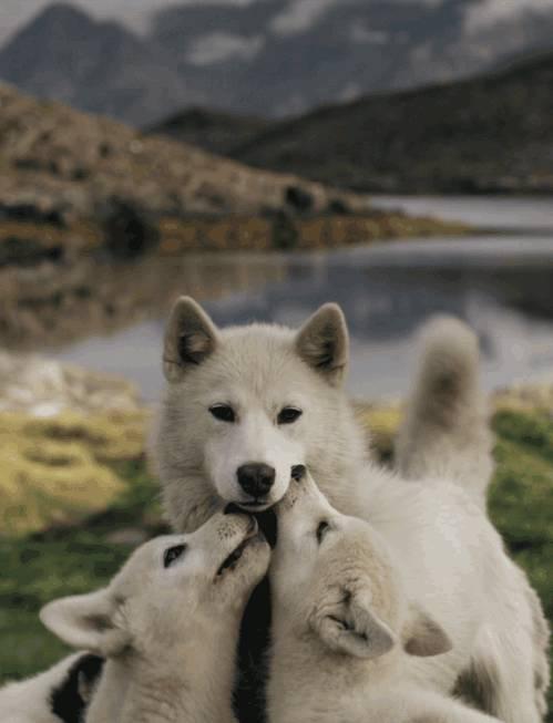 maman-loup-ses-petits