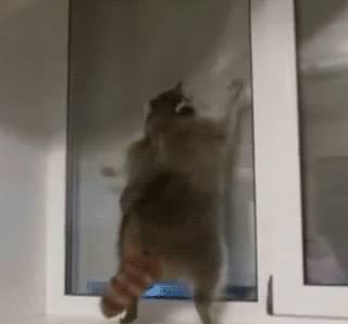 raton-laveur-saute-contre-fenetre
