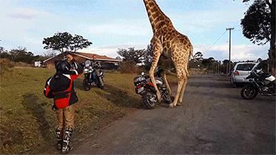 girafe-vole-une-moto