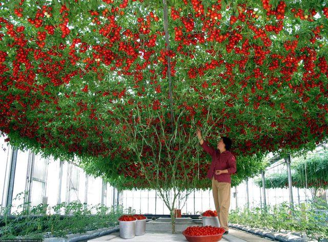 cueillir-tomates-cerises
