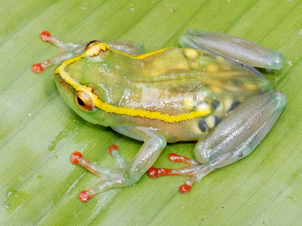 grenouille-transparente