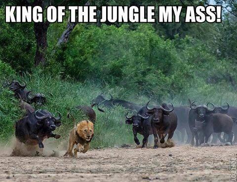 roi-jungle-mon-cul