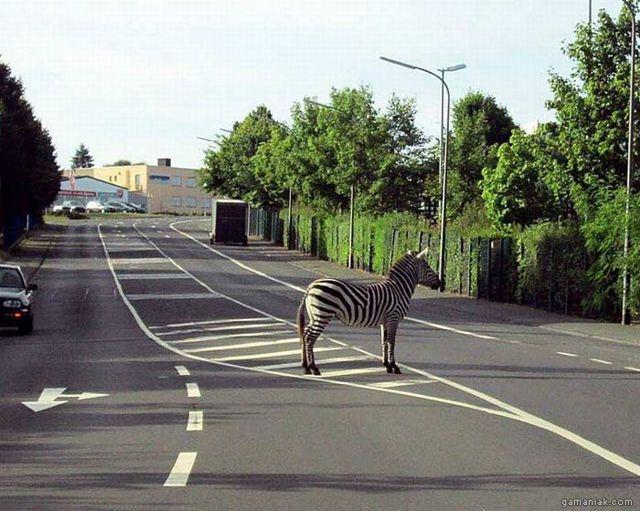 zebre-sur-zebras