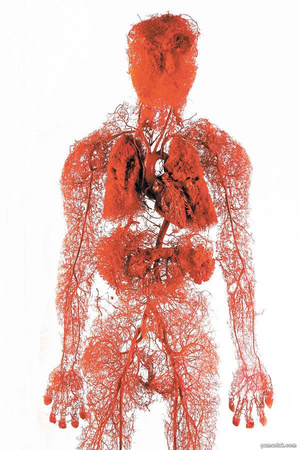 vaisseaux-sanguins-corps-humain.jpg