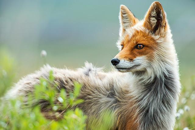 beau-renard
