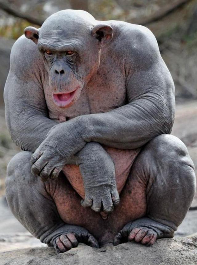 singe-sans-poils-muscle