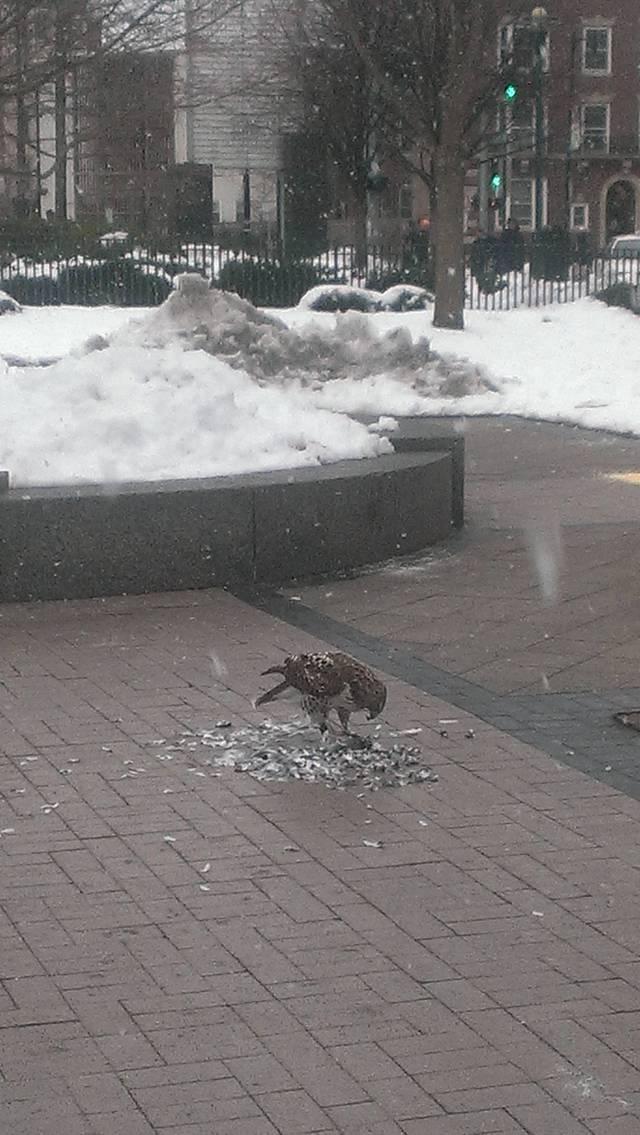 faucon-vs-pigeon