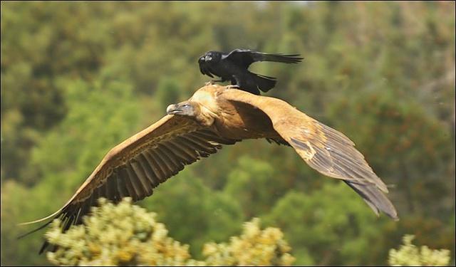corbeau-qui-utilise-taxi-vautour