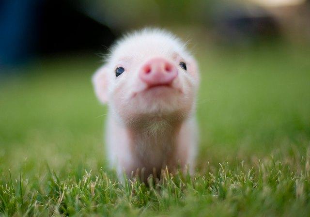 graine-bacon