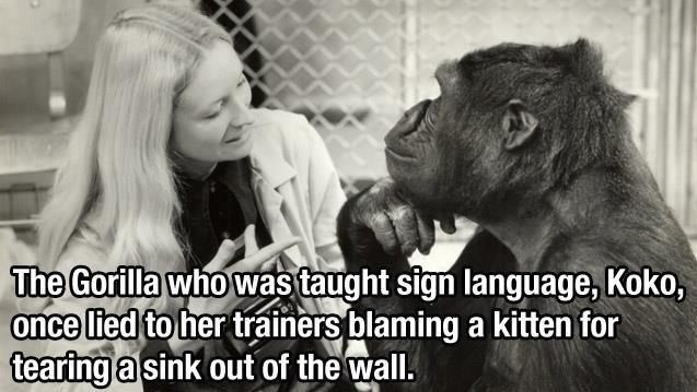 gorille-remet-faute-chat