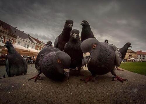 les-pigeons-rappeurs