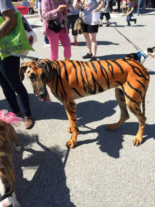 chien-peau-tigre