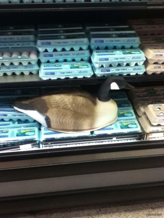 canard-couve-oeufs-supermarche