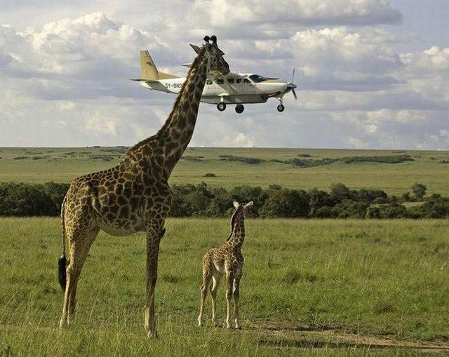 avion-passe-hauteur-girafe
