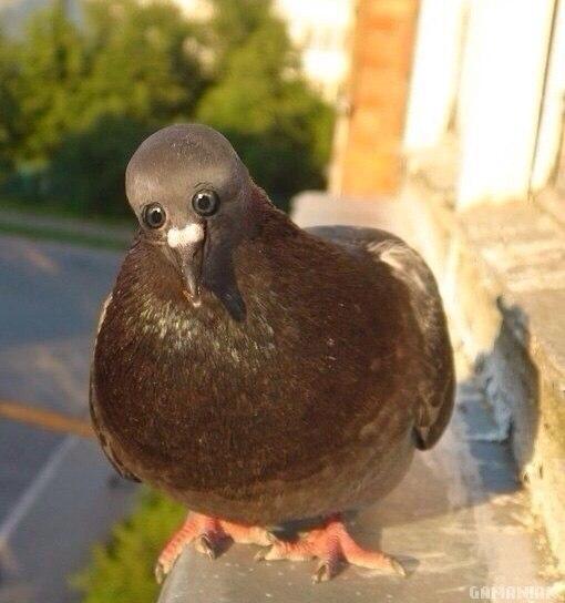 si-pigeons-yeux-avant
