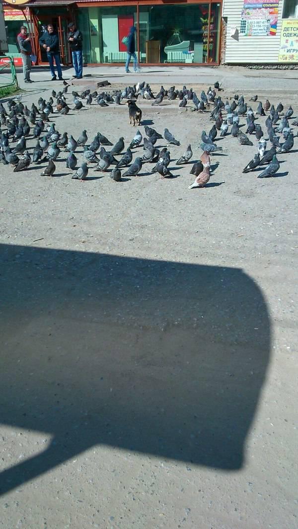 chien-entoure-pigeons