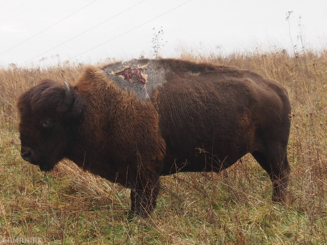 bison-foudre